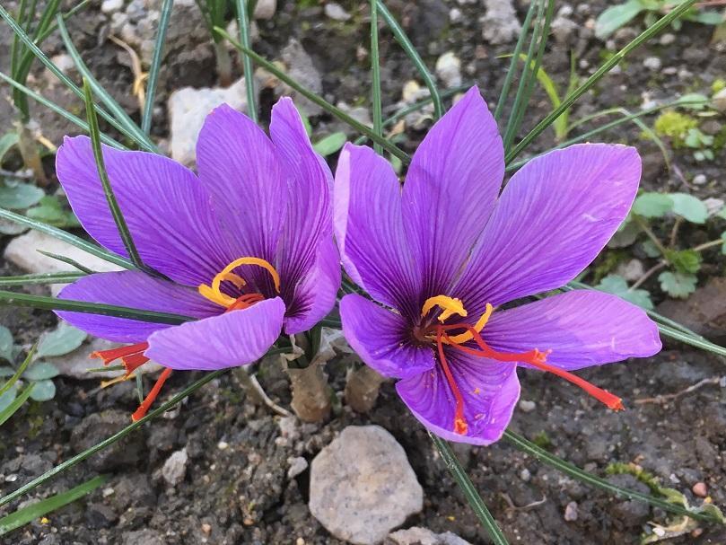 Fleurs de Crocus Quebec Safran